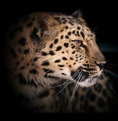 Леопард схема для вишивання