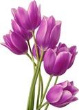 Тюльпани схема для вишивання