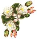 Квіти лотоса схема для вишивання