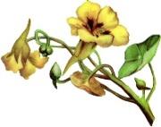 Жовтий в'юнок схема для вишивання