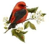 Червона пташка схема для вишивання